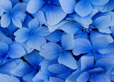 nature, flowers, blossoms, hydrangea, blue flowers - desktop wallpaper