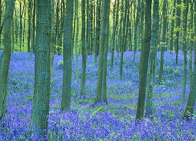 landscapes, trees, flowers, forests, blue flowers, Bluebells - desktop wallpaper