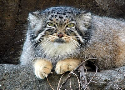 cats, wildcat, manul - random desktop wallpaper