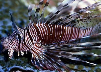 fish, lionfish - random desktop wallpaper