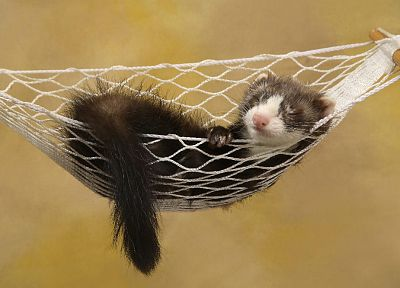 animals, sleeping, hammock, ferret - desktop wallpaper