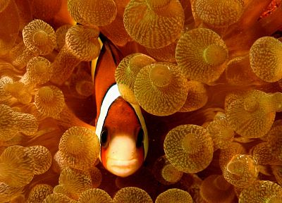 fish, clownfish, sea anemones - desktop wallpaper