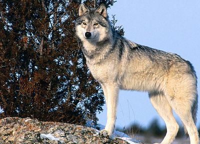 animals, gray, wildlife, wolves - related desktop wallpaper