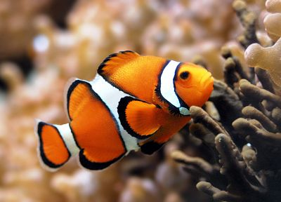 fish, clownfish, sealife - random desktop wallpaper