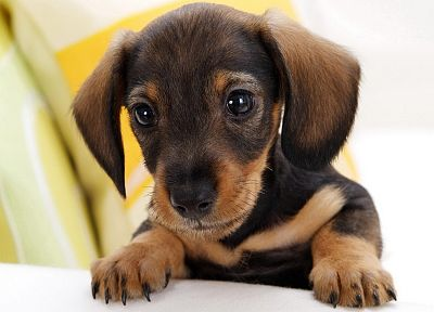 animals, dogs, puppies, dachshund - related desktop wallpaper
