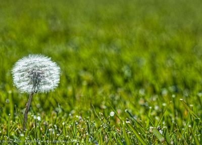 nature, flowers, grass, plants, dandelions - desktop wallpaper