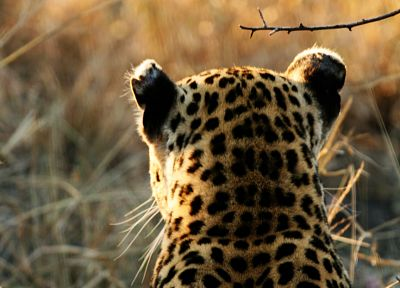 animals, wildlife, panthers, leopards - related desktop wallpaper