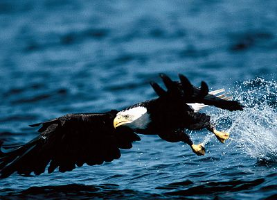 water, birds, eagles, bald eagles - related desktop wallpaper