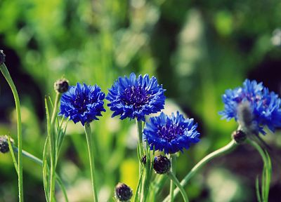 nature, flowers, macro, depth of field, cornflowers, blue flowers - desktop wallpaper