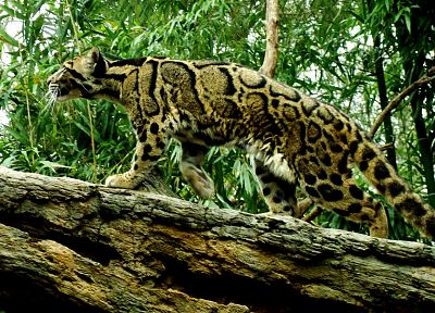 feline, clouded leopards - random desktop wallpaper