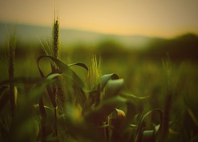 nature, grass, fields, summer, wheat - desktop wallpaper