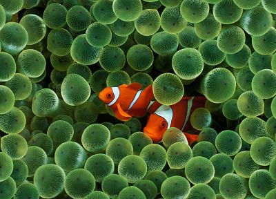 clownfish - random desktop wallpaper