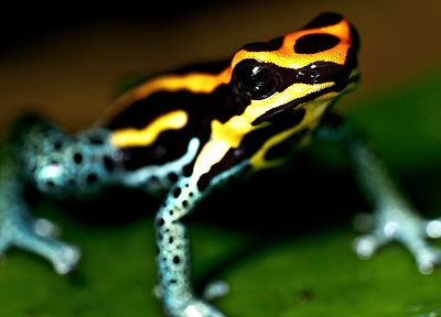 nature, frogs, macro, depth of field, Depthcore, amphibians, Poison Dart Frogs - related desktop wallpaper
