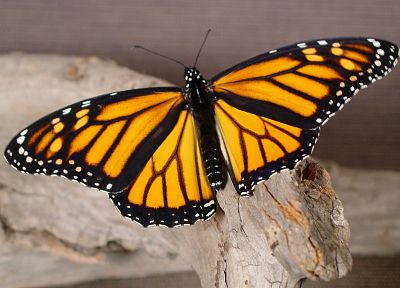 nature, insects, monarch, butterflies - related desktop wallpaper