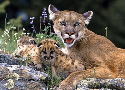 eyes, animals, puma, baby animals - random desktop wallpaper