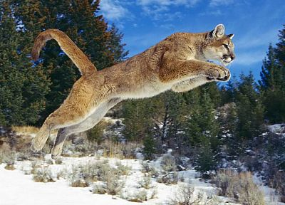 animals, jumping, puma, cougars, mountain lions - related desktop wallpaper