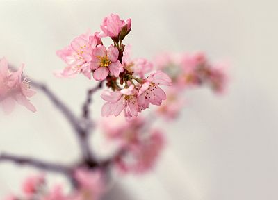 nature, cherry blossoms, flowers, blossoms - related desktop wallpaper