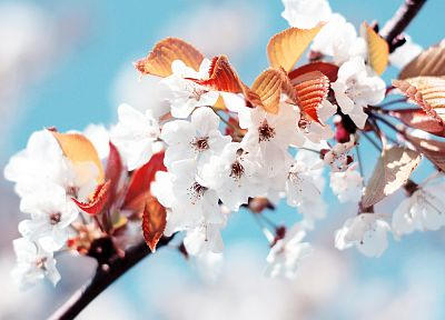 cherry blossoms, macro - random desktop wallpaper