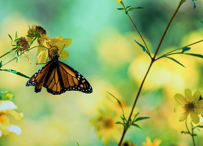 nature, butterflies - related desktop wallpaper