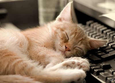 cats, animals, keyboards, sleeping - related desktop wallpaper