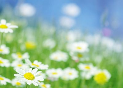 nature, flowers, daisy - related desktop wallpaper