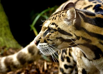 animals, ocelots - random desktop wallpaper