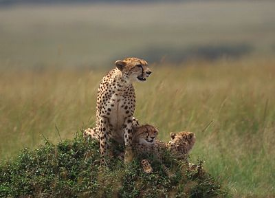 animals, cheetahs, cubs, wild cats - random desktop wallpaper