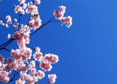 nature, trees, Sakura, blossoms, skies - desktop wallpaper