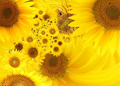 flowers, yellow, sunflowers, yellow flowers - desktop wallpaper
