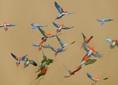 flying, birds, parrots, Peru, national, Scarlet Macaws - random desktop wallpaper