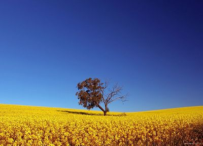 trees, fields, summer, yellow flowers, blue skies - random desktop wallpaper