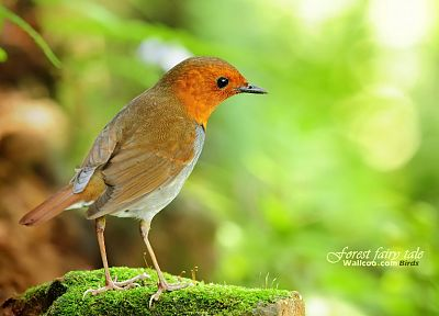 birds, animals, Japanese, robins - desktop wallpaper