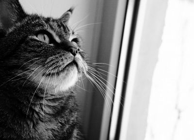 cats, animals, monochrome, pets - related desktop wallpaper