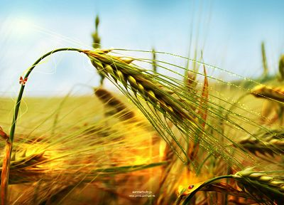 nature, wheat, spikelets - desktop wallpaper