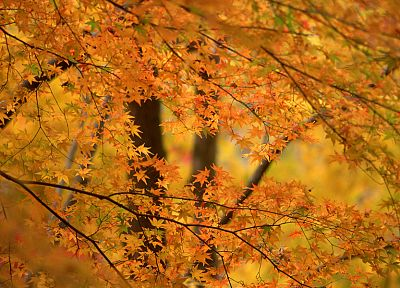 nature, leaf, trees, autumn, leaves - desktop wallpaper
