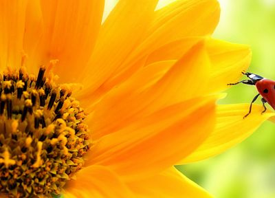 sunflowers, ladybirds - desktop wallpaper