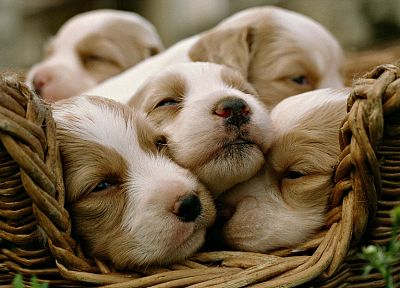 animals, dogs, puppies, baskets - related desktop wallpaper