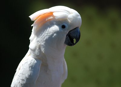 white, birds, animals, parrots - related desktop wallpaper