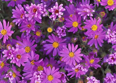 nature, flowers, purple flowers - random desktop wallpaper
