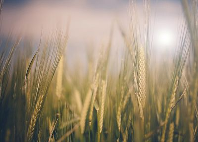nature, wheat, macro - desktop wallpaper
