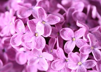 flowers, macro, lilac, pink flowers - related desktop wallpaper
