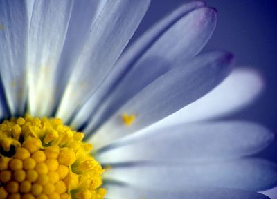 flowers, daisy, macro - random desktop wallpaper