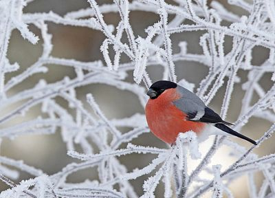 winter, birds, bullfinch - related desktop wallpaper