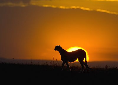 sunset, silhouettes, cheetahs, wild cats - desktop wallpaper