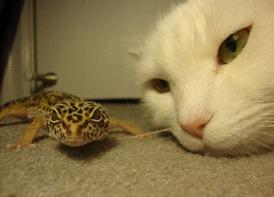 cats, geckos - related desktop wallpaper