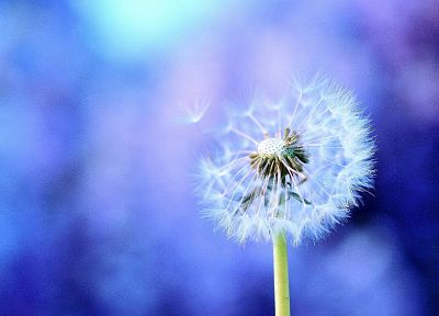 nature, flowers, dandelions - desktop wallpaper
