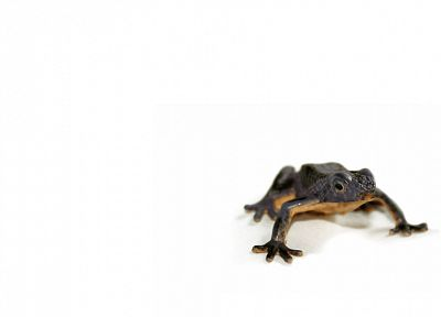 frogs, white background, amphibians - random desktop wallpaper