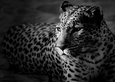 animals, monochrome, leopards - desktop wallpaper