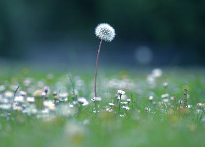 grass, dandelions - desktop wallpaper