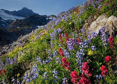 landscapes, nature, flowers, valleys, paradise, National Park, Washington, Mount Rainier, wildflowers - related desktop wallpaper